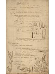 Plantas fósiles, 1850?